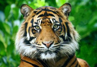 Indian National Animal - Tiger
