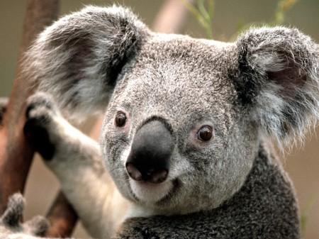 muschos koalos