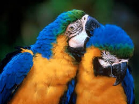 Пазлы попугаи