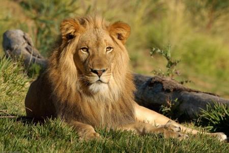 Lion sliding puzzle
