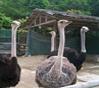 Ostrich (Premium Game)